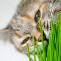 Trava za mačke