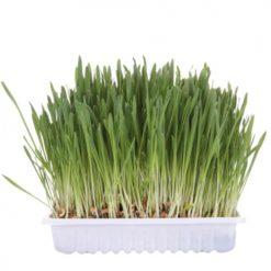 Trava za macke